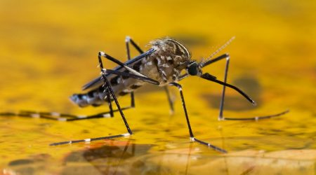 A mosquito on the surface of a pool of water.